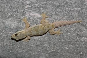 геккон на потолке