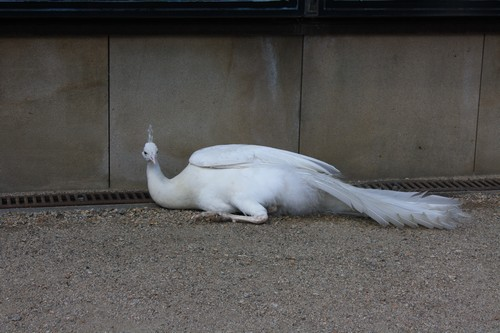 Белый павлин у здания Сената. Прага. Чехия.