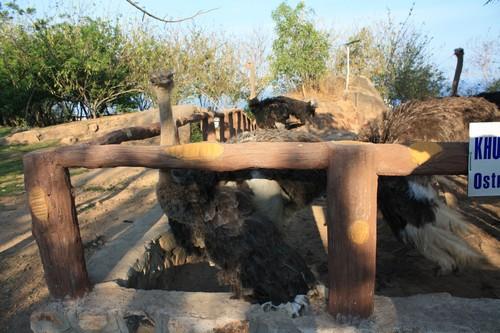 Вьетнам. Вунг Тау. Гора Хо Май. Страусы.